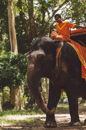Siem Reap Cambodia Angkor Mammal Animal Animal Themes Animal Wildlife Tree Vertebrate One Animal Domestic Animals Plant Working Animal Elephant Day Domestic Riding Real People Pets Ride Land Nature Livestock Outdoors Herbivorous