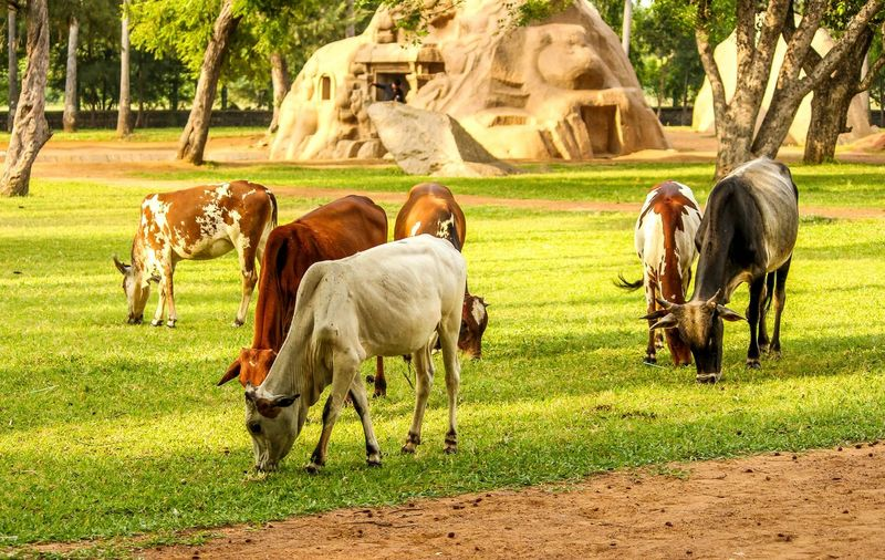 CreativePhotographer Cows In The Feilds Indian Photographer Natural Condition Green Color Nature Focus On Foreground Day Working Animals Field Selective Focus Zoology Herbivorous Outdoors Grazing Full Length Domestic Animals Young Animal Brown Animal Themes Animals In The Wild Togetherness Internationalart Beauty In Nature Chennai Diaries