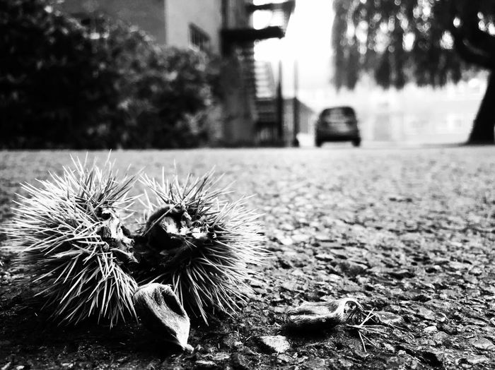 Chestnut is on its way🚗🚗🚗 Nature Chestnut Parallel Blackandwhite Black & White Focus On Foreground IPhoneography Iphone6 Close-up