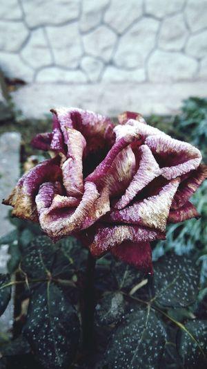 Morning October September Red Flower Old Rose