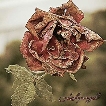 Close-up Dry Leaf Stem Plant Wilted Plant Focus On Foreground Flower Dead Plant Botany Dried Plant Fragility Nature Flower Head Rose - Flower Leaf Vein Day Red Beauty In Nature Outdoors Rose🌹 Dead Rose Death Mourning Nature