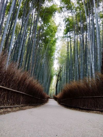 Bamboo forest Trees And Nature Bamboo Forest Bamboo Tree The Way Forward Outdoors Bamboo - Plant Bamboo Grove Forest Nature No People Day Tranquility Scenics Beauty In Nature Growth Sky Shades Of Winter An Eye For Travel