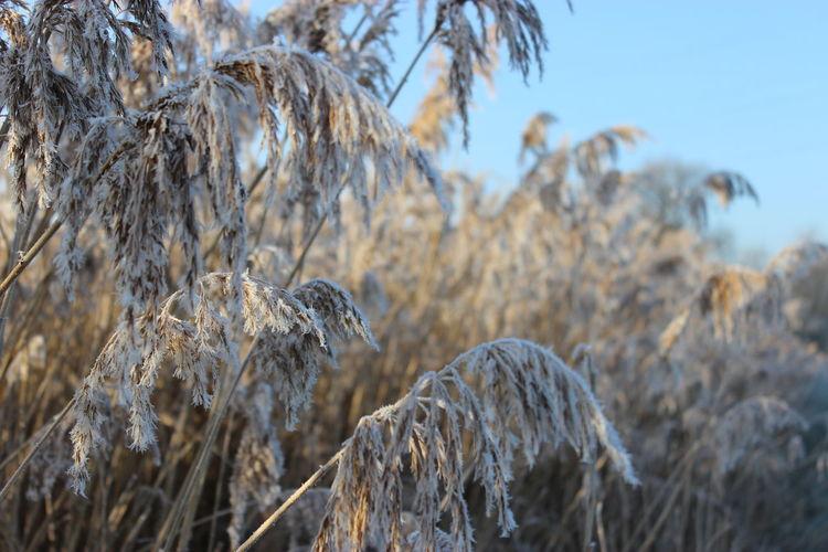Close-up of frozen pampas grass against sky