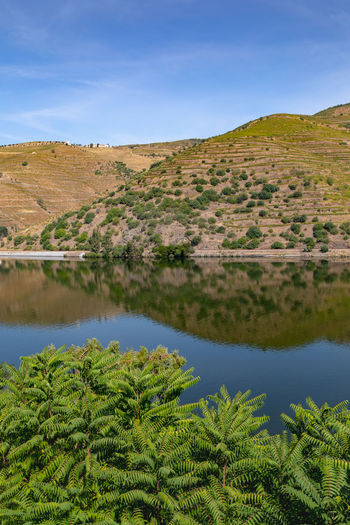 Douro river with vineyards in surrounding valley Douro  Hills Portugal Arid Climate Beauty In Nature Blue Day Environment Green Color Growth Land Landscape Mountain Nature No People Non-urban Scene Plant Riverbank Scenics - Nature Sky Tranquil Scene Tranquility Tree Vineyard Water