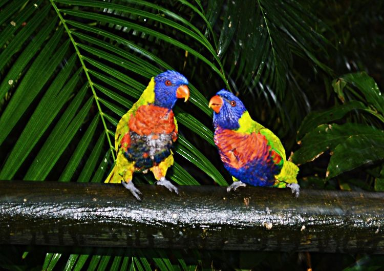 Peroquet Jardin Botanique Guadeloupe Guadeloupe Nikond3200