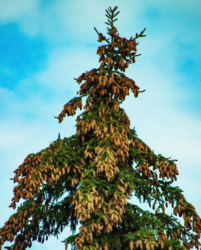 Bavaria Germany GERMANY🇩🇪DEUTSCHERLAND@ Germany🇩🇪 Nature Spruce Tree Spruce Spruce Trees Spruce Needles Spruce Cone Spruce Cones Cones Fichte Fichtenzapfen No People Nopeople No Person No Persons Bad Kötzting Fir Tree Branch Pinaceae Sky Close-up Single Tree Evergreen Tree Fir Tree Treetop Needle - Plant Part