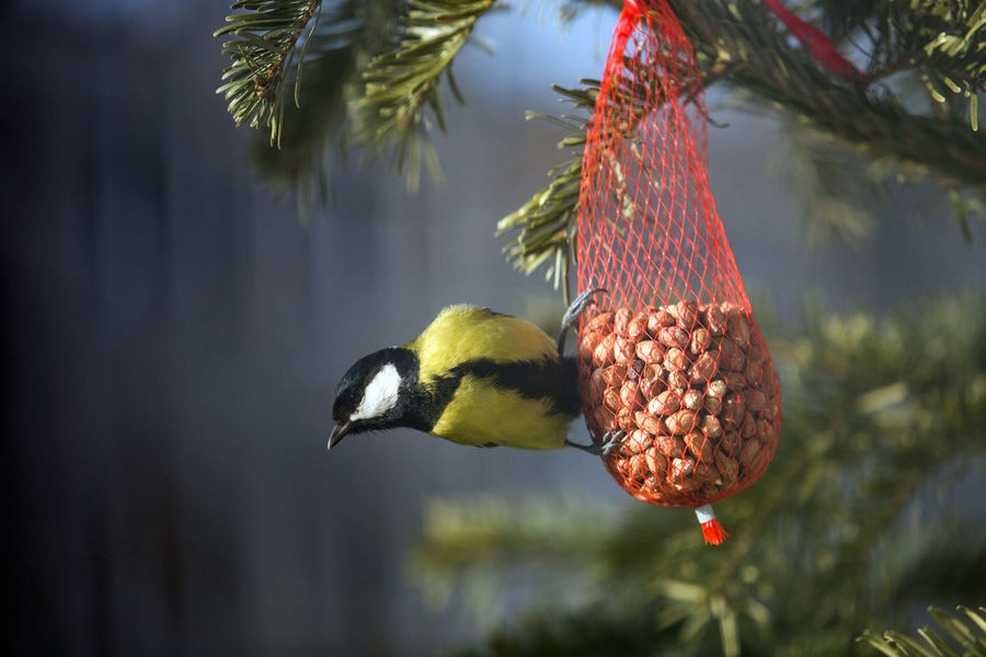 Animal Themes Animal Wildlife Animals In The Wild Beauty In Nature Bird Bird Feeder Branch Close-up Day Focus On Foreground Food Food And Drink Freshness Fruit Hanging Nature No People One Animal Outdoors Perching Red Titmouse Tree