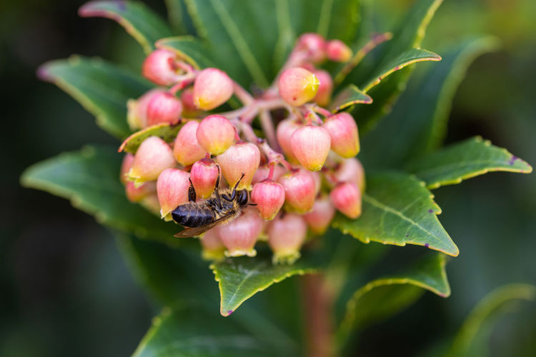 Close-up of honey bee on pink flower buds