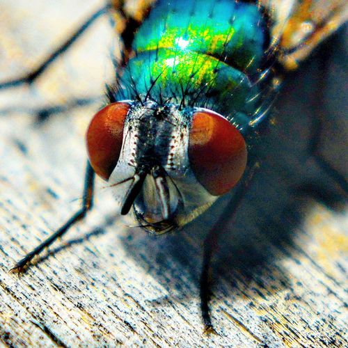 Fly Eyes Fly Eye Flies Eyes A Fly's Eyes Macro Fly Fly Macro Very Close Up Poster Fly Flies Macro_collection Macro Photography Macro Photoart Photography Insects Beautiful Nature The OO Mission