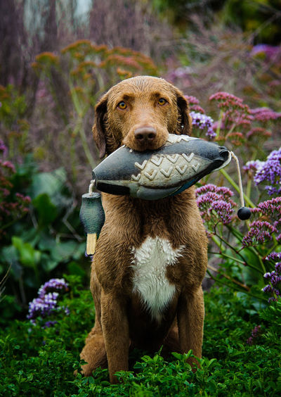 Portrait of chesapeake bay retriever carrying toy in mouth