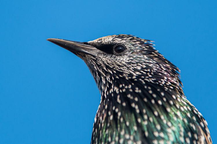 Portrait of common starling, ssturnus vulgaris
