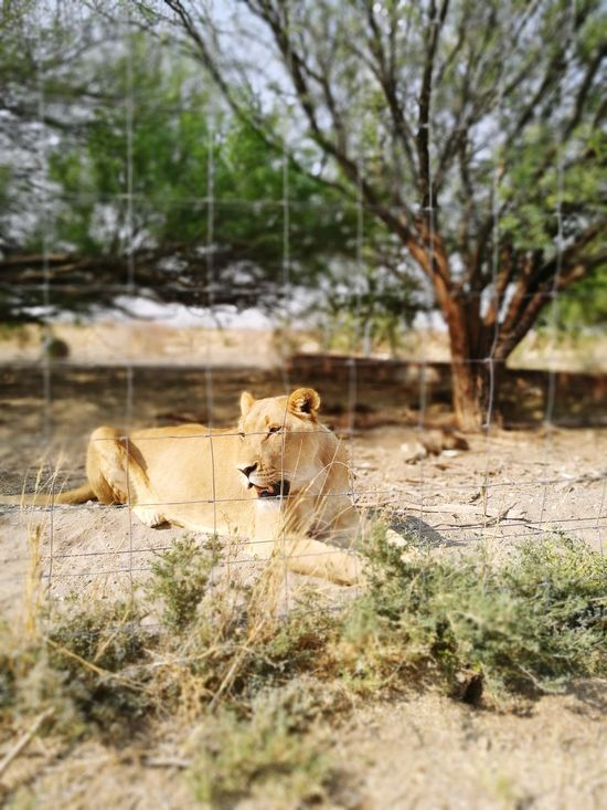 Animals In The Wild Animal Animal Wildlife Animals Hunting Animal Themes Nature Danger Mammal No People Lioness Day Lion - Feline Safari Animals Outdoors Leopard Beauty In Nature