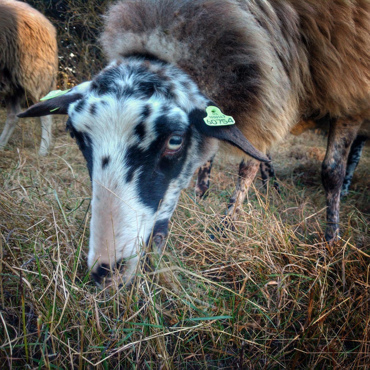 Portrait Of Sheep Grazing On Grassy Field