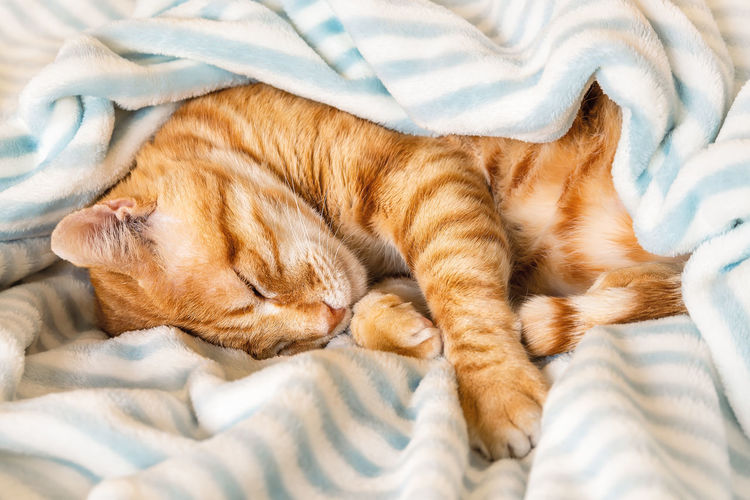 Ginger tabby cat curled up and napping under a soft striped blanket. domestic cat sleeps at home.