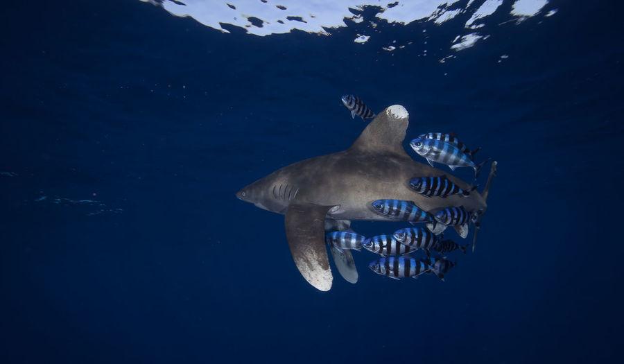 Power display. Animal Themes Blue Ocean Longimanus Nature Sea Life UnderSea Underwater