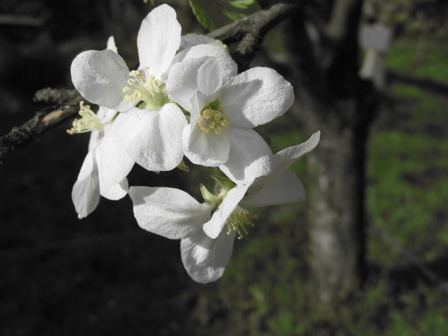 Macro Photography Apple Blossom Apple Tree Apple Trees Garden Beauty In Nature Blooming Close-up Day Flower Flower Head Fragility Freshness Growth Macro Macro Photography Flower Nature No People Outdoors Petal Plant Spring Spring Flowers Tree Flowers White Flower