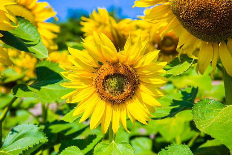 Sunflowers are