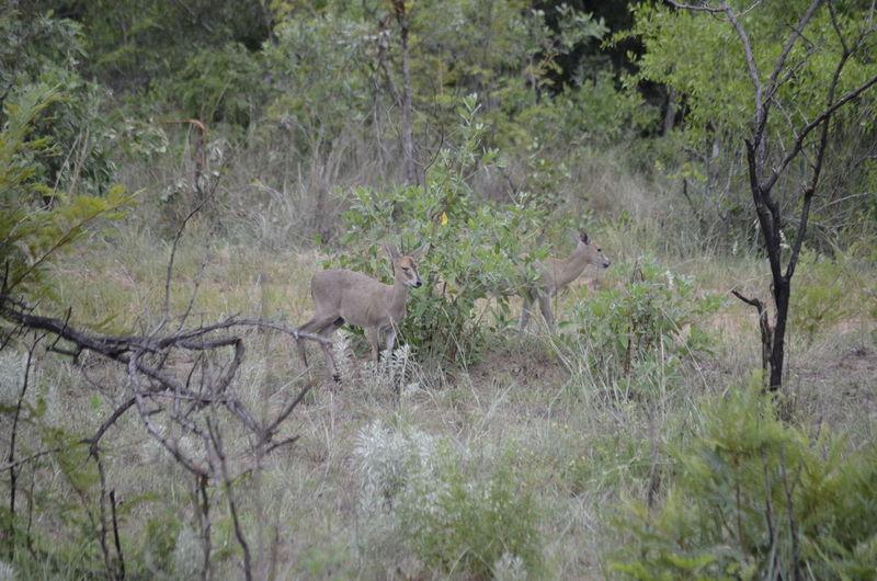 Animals In The Wild Duiker Wildlife