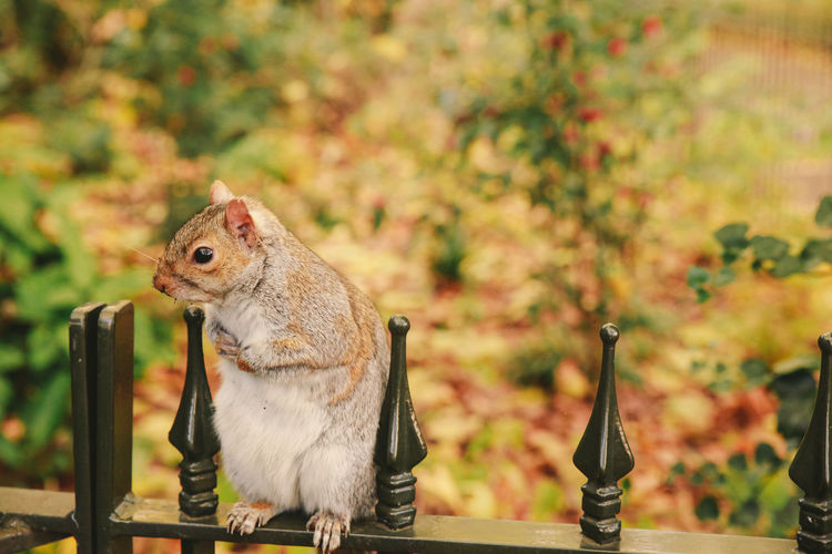 Close-up of squirrel on fence against autumn trees