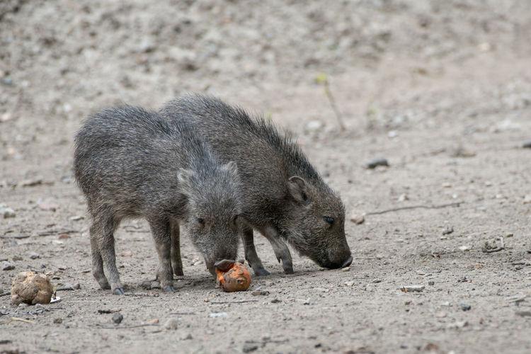 Piglets on field