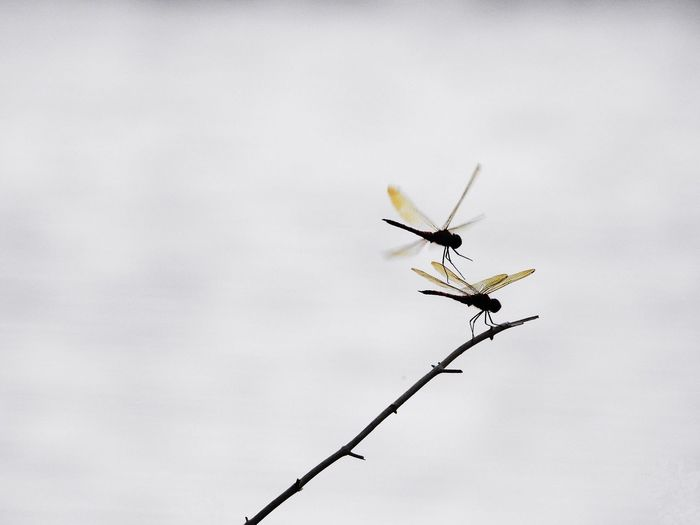 Low angle view of silhouette dragonflies on twig against sky