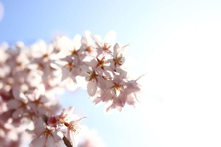 長野市も桜が咲いたとか🌸おはよう~ 貧乏マクロ Macro Photography Nature Photography Flower Head Tree Flower Branch Rural Scene Springtime Backgrounds Clear Sky Sunset Blossom Cherry Blossom Flowering Plant Cherry Tree