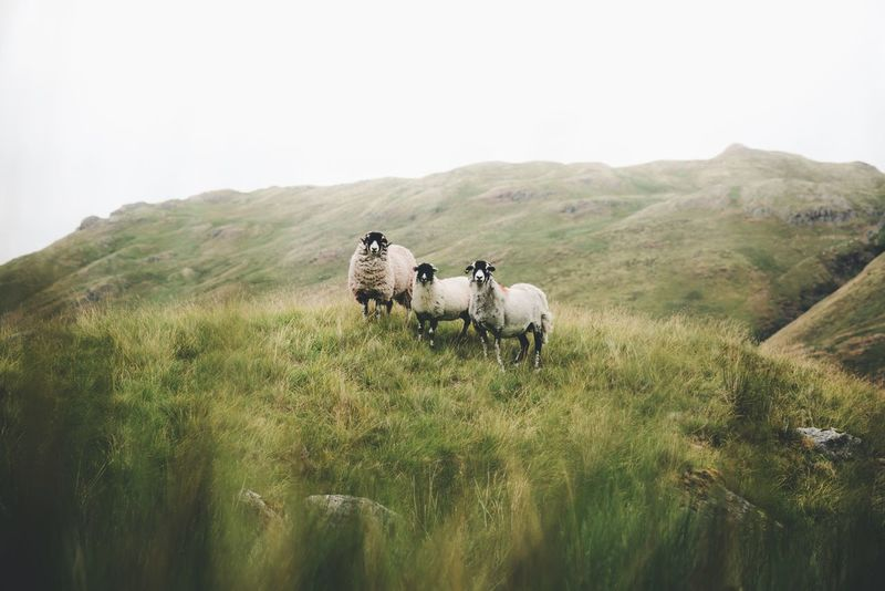 Family portrait Lake District Britain Group Of Animals Plant Animal Animal Themes Mammal Livestock Sky Vertebrate Domestic Domestic Animals Nature Field Landscape Growth Pets Green Color Day Beauty In Nature Land Environment