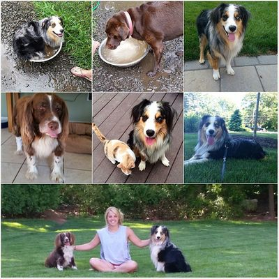 I love all my pups 🐶🐕 Nationaldogday Puppielove Pupsofinstagram Australianshepard Springerspaniel Chocolatelab