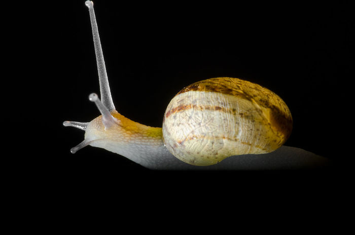 Black Background Snail Animal Shell Animal Themes Black Background Close-up Day Food Gastropod No People Non-urban Scene One Animal Snail Studio Shot EyeEmNewHere Gastropods Shell Shells Mobile Home