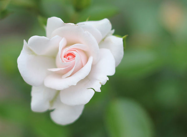 Beauty Aging Beauty Beauty In Nature Blooming Blossom Close-up Flower Flower Head Focus On Foreground Fragility Freshness Growth Love Nature Nature Nature On Your Doorstep Nature Photography Nature_collection Naturelovers No People Outdoors Plant Roses