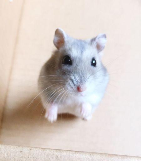 Cute Pets Dwarf Hamster Hamster Love Hamster