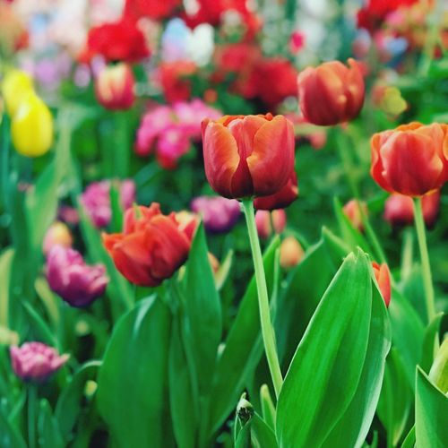 Beautiful tulips flower in the garden. Tulips🌷 Plant Flowering Plant Flower Beauty In Nature Growth Close-up Freshness Vulnerability  Fragility Plant Part Petal Leaf Flower Head No People Red Nature Green Color Day Focus On Foreground