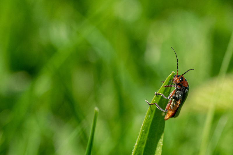 Red cardinal soldier beetle, cantharis, resting on the tip on a blade of grass