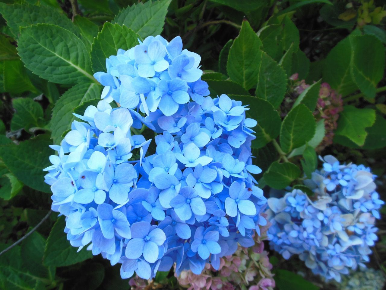 flower, beauty in nature, blue, growth, fragility, nature, hydrangea, plant, freshness, petal, flower head, outdoors, day, blooming, leaf, green color, no people, lilac, close-up, lantana camara