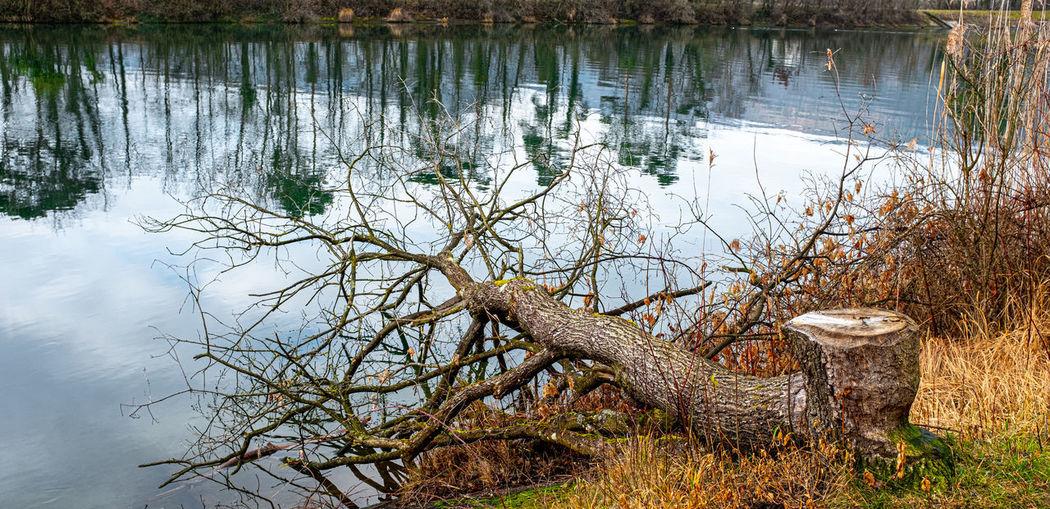 Fallen tree on lakeshore