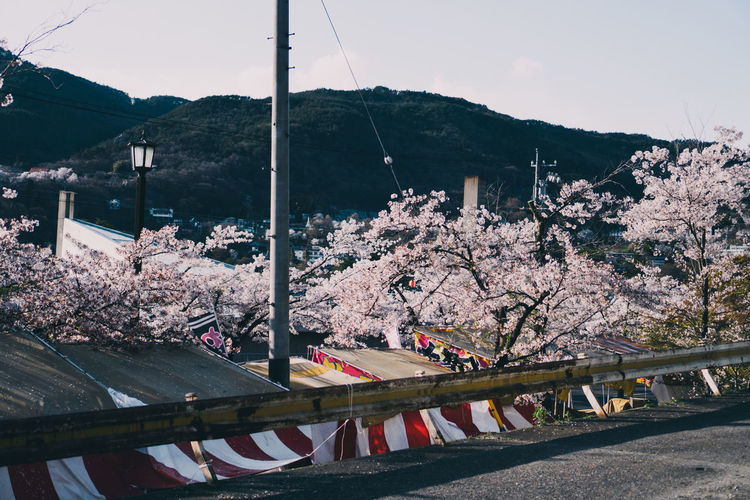 View of cherry blossom from bridge
