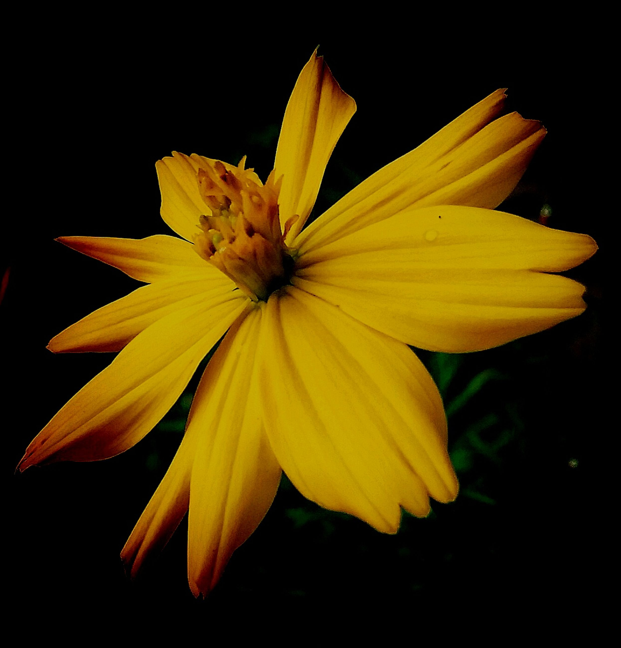 yellow, petal, vulnerability, fragility, flower, flowering plant, flower head, inflorescence, close-up, freshness, beauty in nature, studio shot, plant, growth, black background, no people, nature, pollen, botany