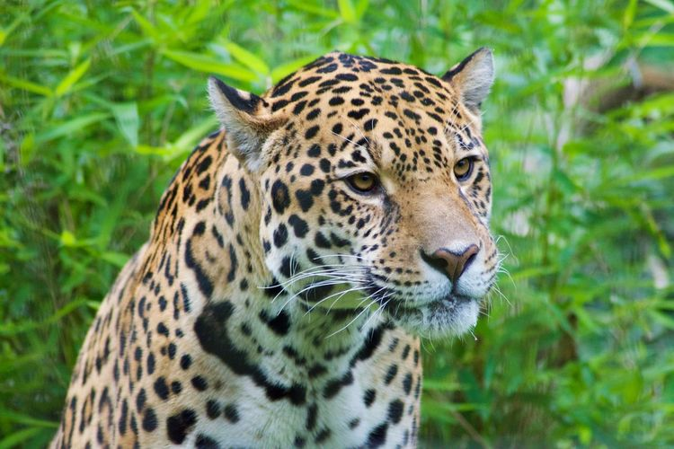 One Animal Animal Themes Animal Animal Wildlife Animals In The Wild Big Cat Feline Mammal Cat No People Focus On Foreground Leopard Day Looking Away Vertebrate Looking Nature Close-up Carnivora Animal Markings Whisker Animal Head  Outdoors Undomesticated Cat