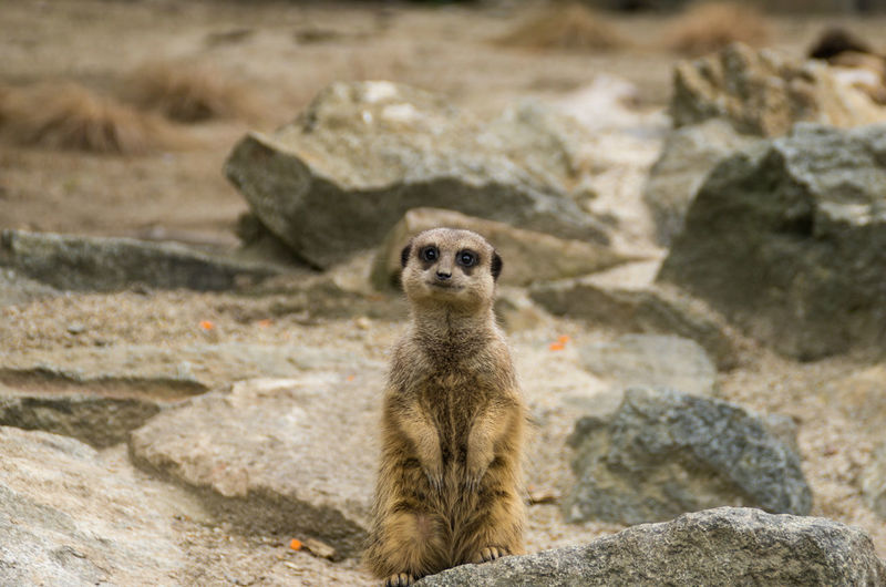 Meerkats at Edinburgh zoo, speedy little things. The kids adore them. Animal Animal Themes Animals Beauty In Nature Day Edinburgh Edinburgh Zoo Mammal Meerkat Meerkat Nature No People Outdoors Portrait Rock Rock - Object Rocks Scotland Small Wildlife