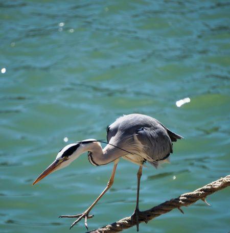 Airone Cenerino Animal Wildlife Bird Gray Heron Heron Nature One Animal Water