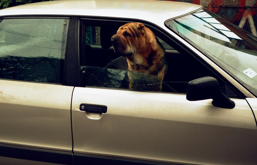 Animal Themes Brown Car Close Up Close-up Comfortable Curiosity Detail Directly Above Dog Dog Waiting Floor Full Frame Home Indoors  Looking Music No People One Animal Part Of Relaxation Sitting Working
