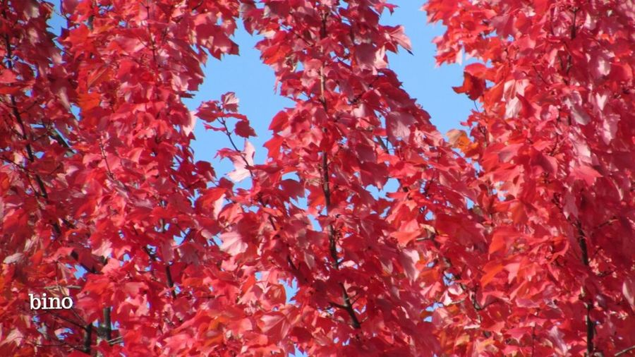 Looking Up Blue Sky Autumn Leaves Beautiful Bright Red Cadillac Sky! Pure Michigan