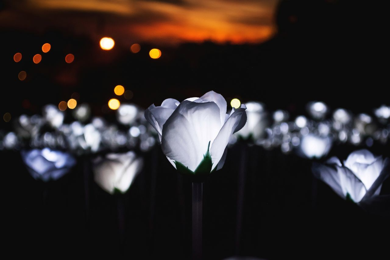 flower, beauty in nature, petal, no people, illuminated, focus on foreground, nature, fragility, close-up, night, outdoors, flower head, defocused, freshness