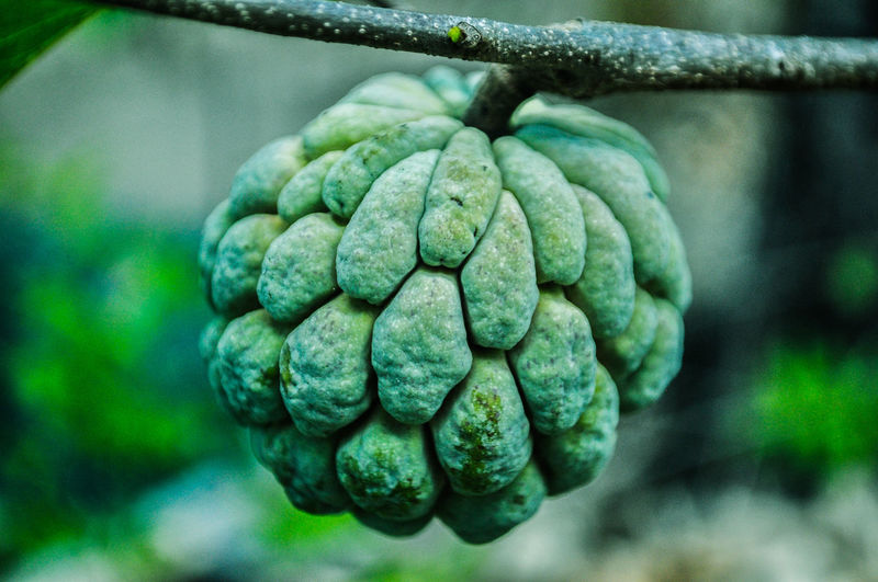 Sugar Apple Fruits Photography Beauty In Nature Summer Philippines Green Color EyeEmNewHere