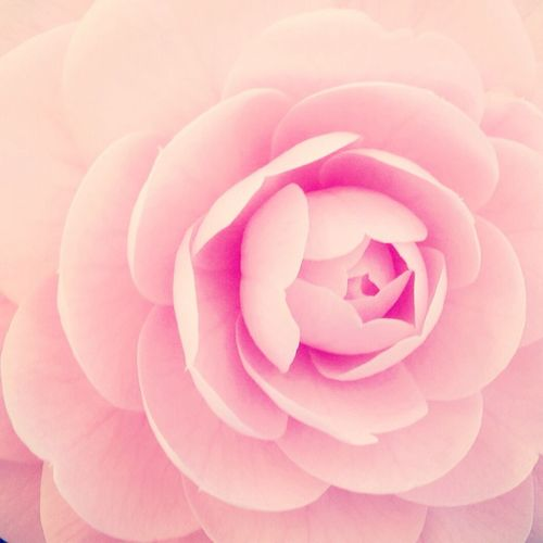 Flower Pink MyFavorite