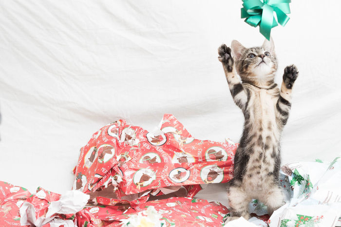 Kittens as a present Alertness Animal Animal Themes Animals Cat Christmas Lights Christmas Present Christmas Tree Domestic Animals Domestic Cat Indoors  Kitten Looking At Camera Mammal One Animal Pets Playing Portrait Present Presents Relaxation