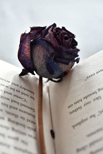 Literature Knowledge Studying Education Bed Novel Open Book  Reading A Book Open Book  Written Words Pages Rosé Blue Rose Dried Rose Romantic
