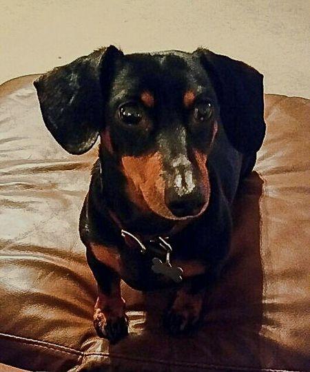 Dashchund Weeniedog Black And Tan Dog HDR