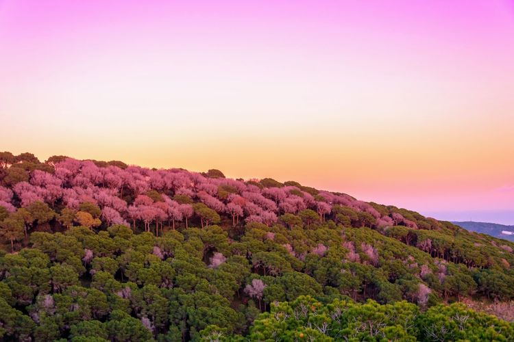 Purple flowering plants on land against sky during sunset