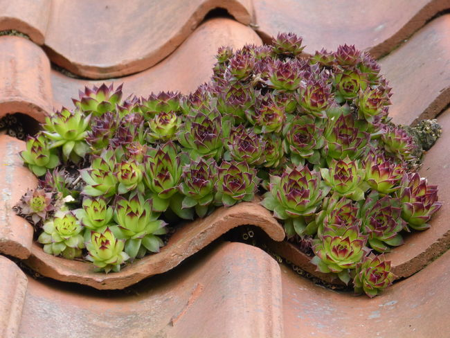 Sempervivum tectorum - Houseleek - Dachwurz - on old roof in Ostfriesland - Northern Germany - North Sea ... :-) Close-up Dachwurz Dachwurzblüte🍀 Day Frisian House House Plants Houseleek Landhaushof Landhausplatz Landhausstil Landleben Nature No People Nordsee Nordsee Feeling🐚🌾 Nordseeküste North Sea Region Ostfriesisch Ostfriesland Ostfriesland Kultur Plants On Foreground Plants On Stone Roof Plant Sempervivum Sempervivum Tectorum
